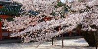 Экскурсия Сакура в Киото