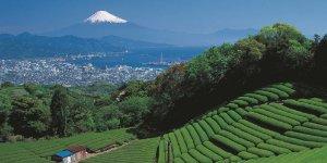 Чайные плантации в префектуре Сидзуока