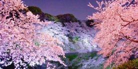 Эконом тур на сакуру в Токио 2018