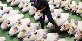 Рыбный рынок Тоёсу: работник рынка проверяет рыбу перед аукционом