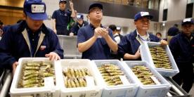 Рыбный рынок Тоёсу: аукцион васаби