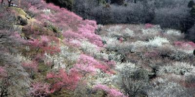 Цветущая слива в парке на Цукуба сан