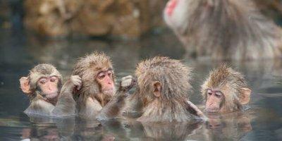 Парк снежных обезьян