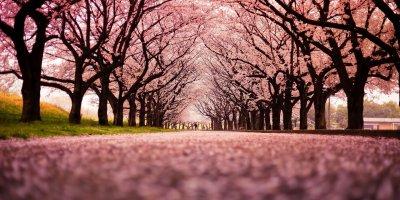 Тур на сакуру в Японию 2018