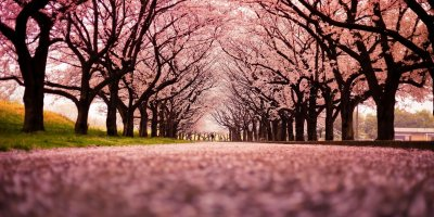 Тур на сакуру в Японию 2019 /Максимум