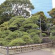 Токио. Сад Хамарикю. Трехсотлетняя сосна