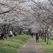 Цукуба. Сакура в одном из городских парков