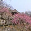 Цукуба. Сливовый парк на горе Цукуба