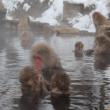 Нагано. Яманоути. Дикие обезьяны в термальном источнике