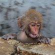 Нагано. Яманоути. Дикая обезьяна в термальном источнике