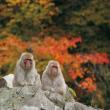 Снежные обезьяны в Нагано